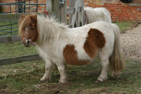 poni-shetland