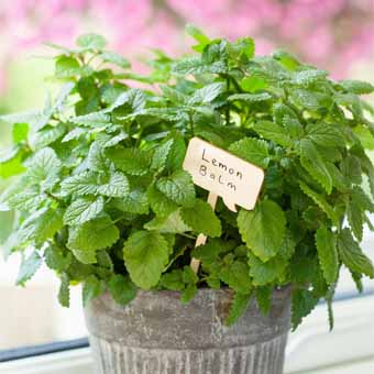plantas para eliminar los mosquitos